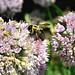 Mr. Pollinator