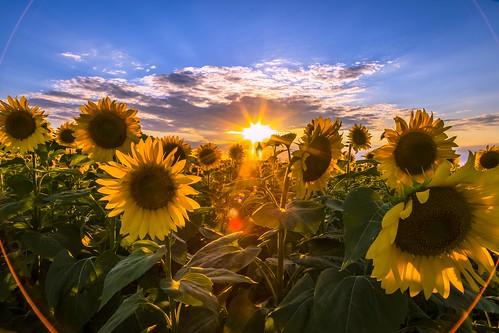 canon 6dmarkii 6dmii canon6dmarkii madison bluemounds statepark sunflower sunflowers popefarmconservancy popefarm sunset sun sunlight sundown summer goldenhour middleton wisconsin unitedstates us