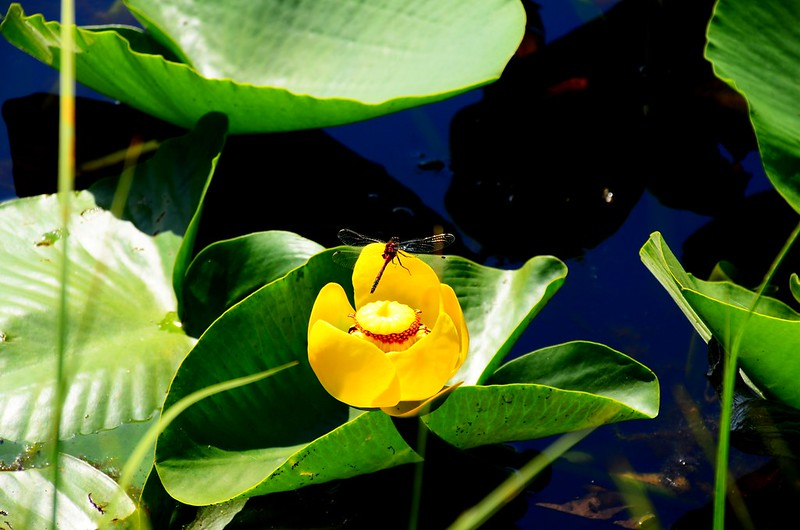 Yellow Water Lily (4)