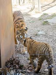 Sermon d'une tigresse
