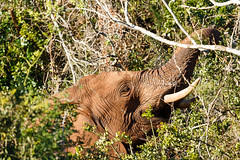 Elephant stretching for a leaf to eat