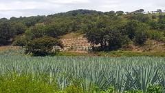 Cultivated Agave Espadin