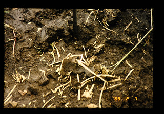 Soybean Seeds Placed In A Non-tillage Field = 水稲後、不耕起では種された大豆