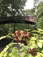 Aralia racemosa, New York Botanical Garden
