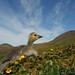Small photo of Aleutian Cackling Goose