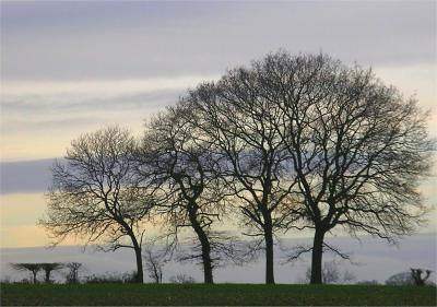 c Trees in Silhouette against a grey sky