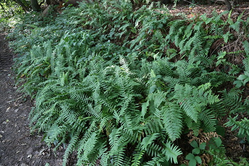 Common Polypody Fern - near Stopham