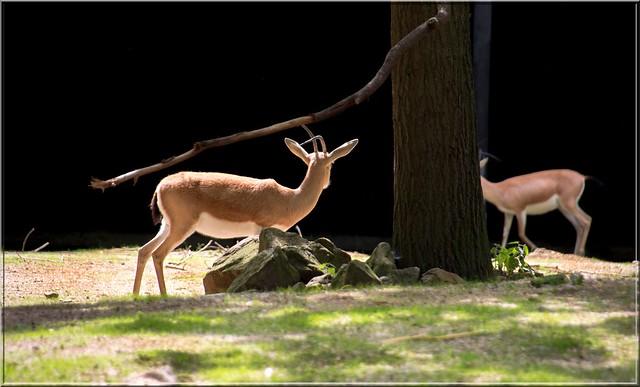 la gazelle et l'ombre