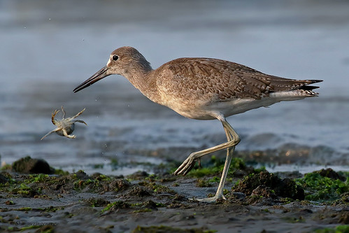 Willet | Chevalier semipalmé