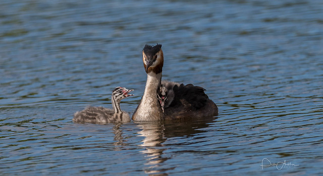 Great Crested Grebes 17th August 2017