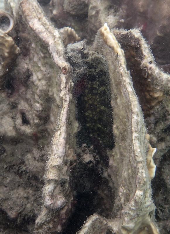 Obscure Blenny (темная коралловая собачка)_P8050047+