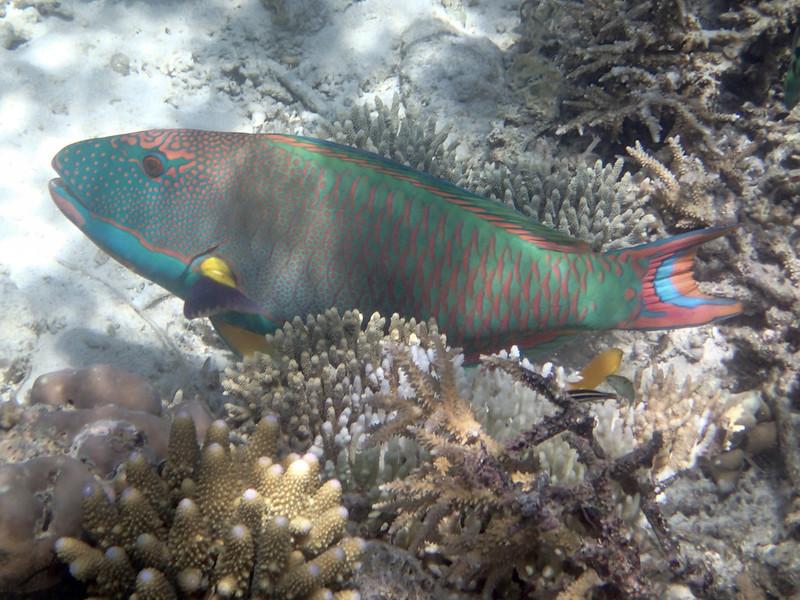 Spotted parrotfish (male)_пятнистая раба-попугай (самец)_P8060274+