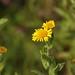 Small photo of Fleabane (Pulicaria dysenterica)