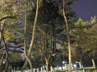 千葉公園 野球場の夜桜12