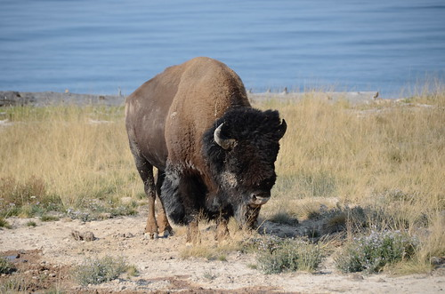 Yellowstone a Bison