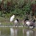 Goose Egret?