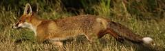 Red Fox ,     (Vulpes Vulpes)     Dungeness RSPB