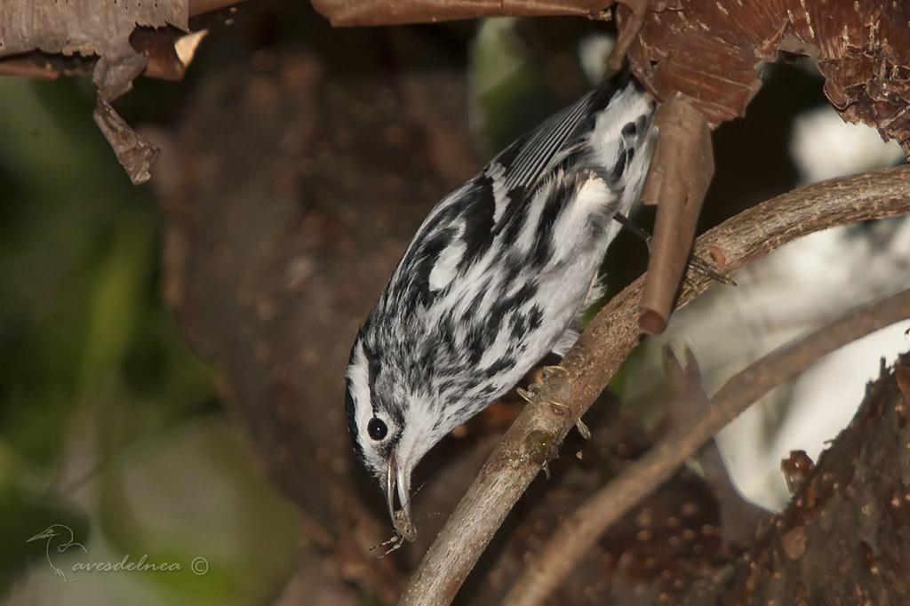 Reinita Trepadora  (Black-and-white Warbler) Mniotilta varia Linnaeus, 1766