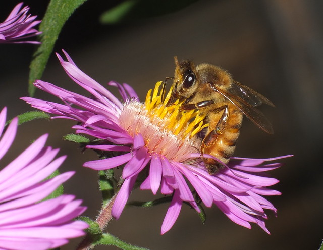 Honey Bee Feeding On An Aster Flower DSCF4885