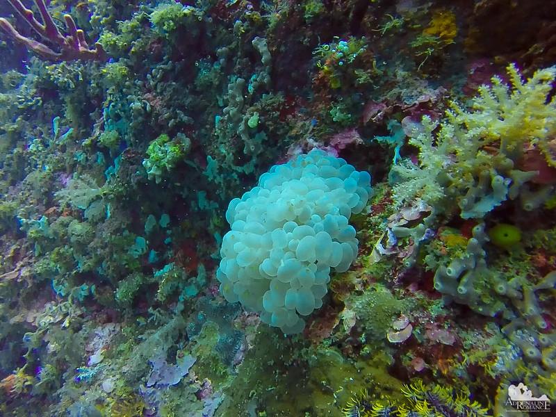 Bubble Corals