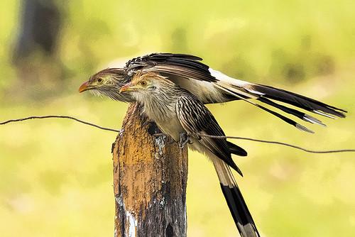 Pantanal: Guira Cuckoos