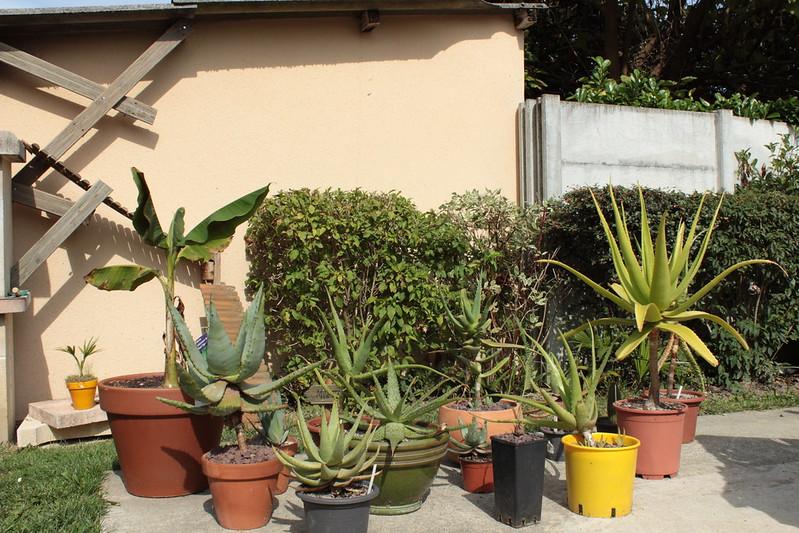 Aloe - hivernage 37367223915_9cb36d97fa_c
