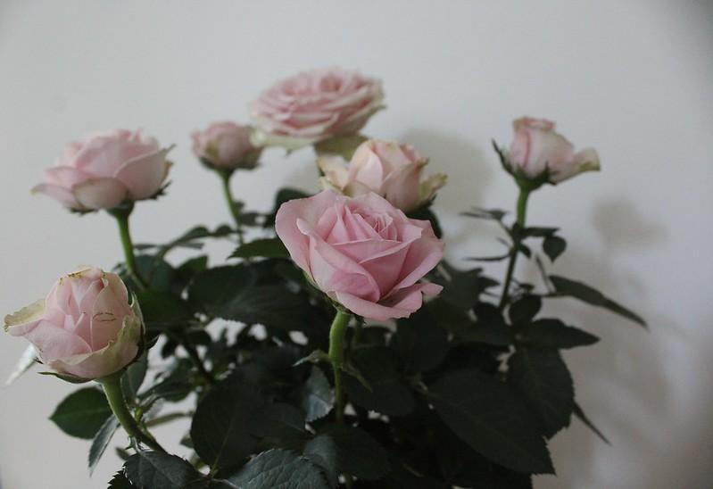 rosessssroses