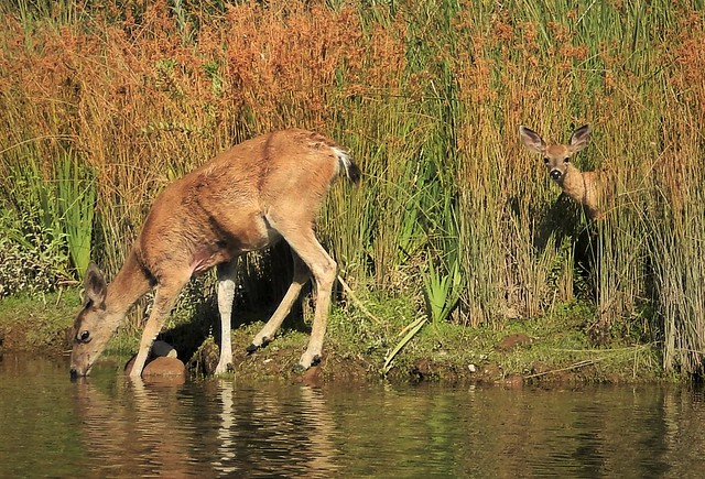 Mule deer doe and, Nikon COOLPIX S9500