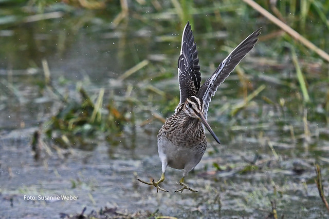 Bekassine Abflug - Common snipe