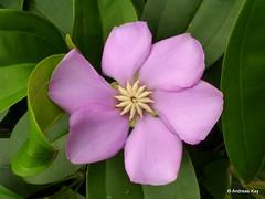 Blakea sp., Melastomataceae