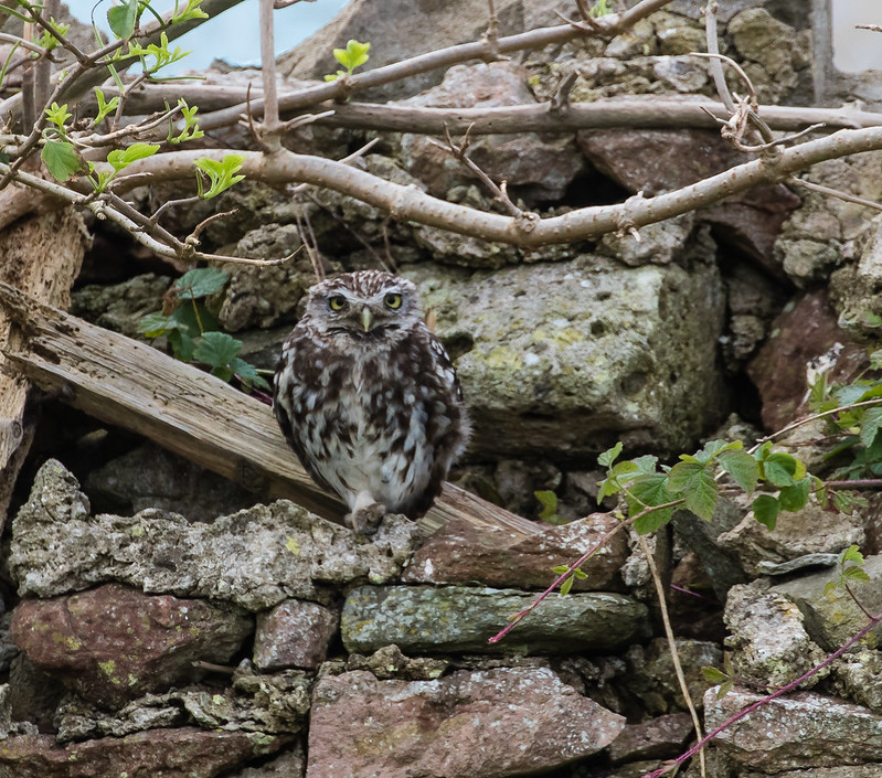 little owl 123c IIMG_5946