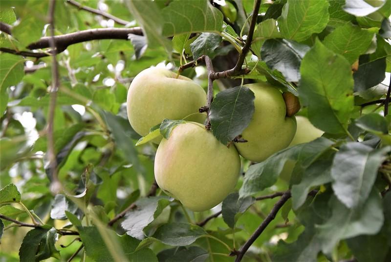 Apples 30.08 (4)