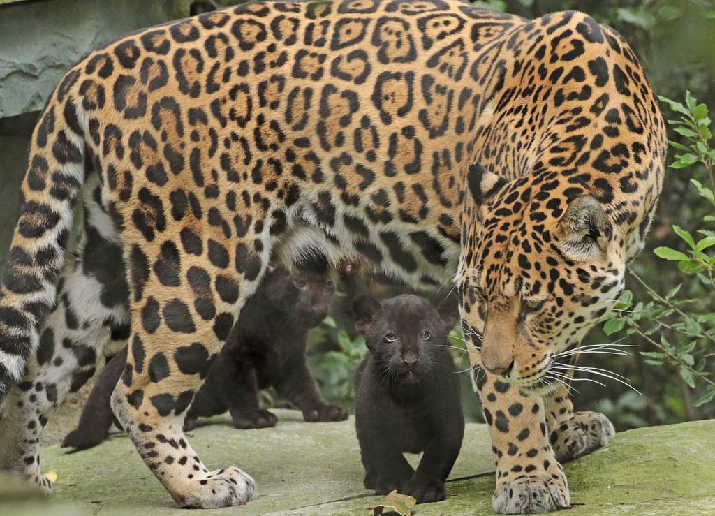 black jaguar cub | Tumblr - photo#8