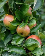 Norman Apples