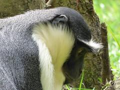 Cerza Zoo - roloway monkey. (2)