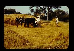 牛による脱穀