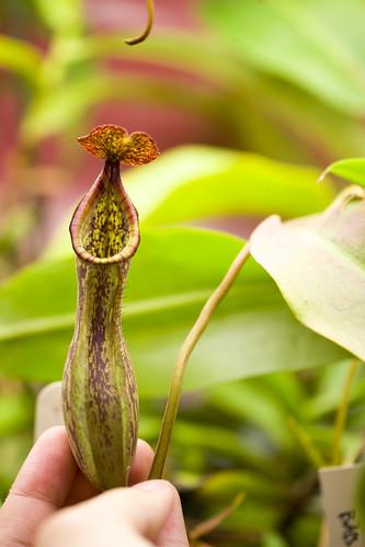 Nepenthes boschiana Sakumbang [BE-3559]