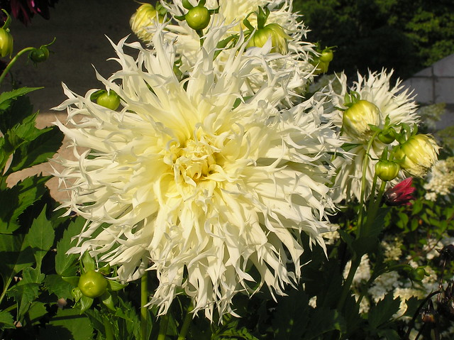 Dahlia 'Ice Crystal'