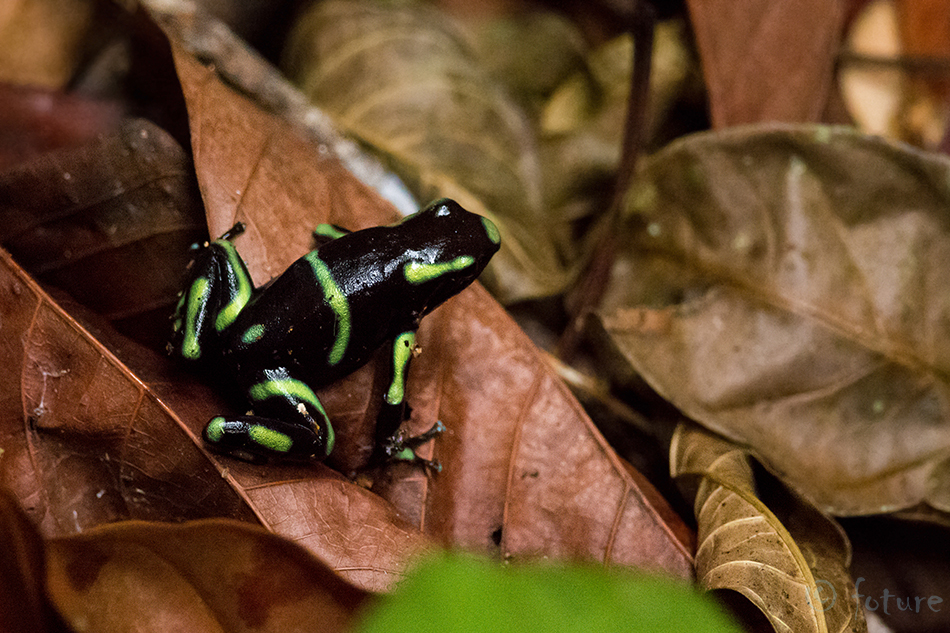 Rohemust, noolemürgikonn, Dendrobates, auratus, mürgikonn, mürgi, konn, Green, black, poison, dart, frog, arrow, Green-and-black, poison, dart, Mint, Carara, National, Park, Costa, Rica, Kaido Rummel