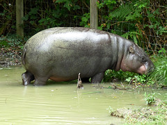 Cerza Zoo - pygmy hippopotamos - Photo of Beuvillers