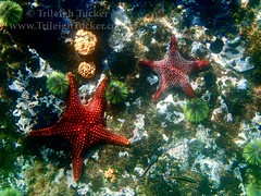 Beautiful red starfish, Kicker Rock, Galapagos