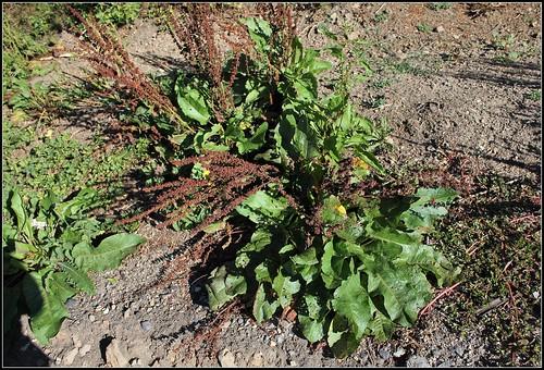 Rumex obtusifolius - patience à feuilles obtuses, oseille sauvage 36571904501_0f35205970