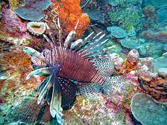 Scuba Diving (Fairyland, Soufriere), St. Lucia (Jun-2016) 04-014
