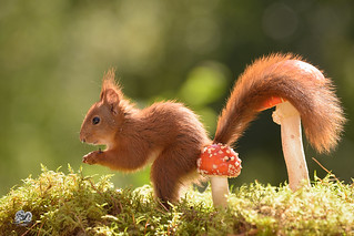 squirrel with tail over a mushroom
