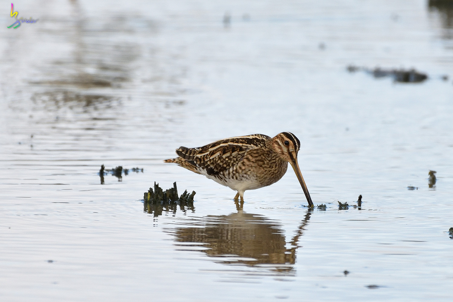 Common_Snipe_9905