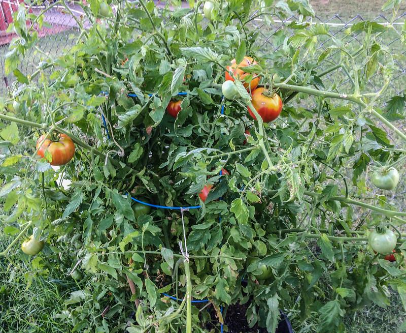 tomato_harvest_20170904_104