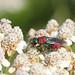Jewel wasp_4723