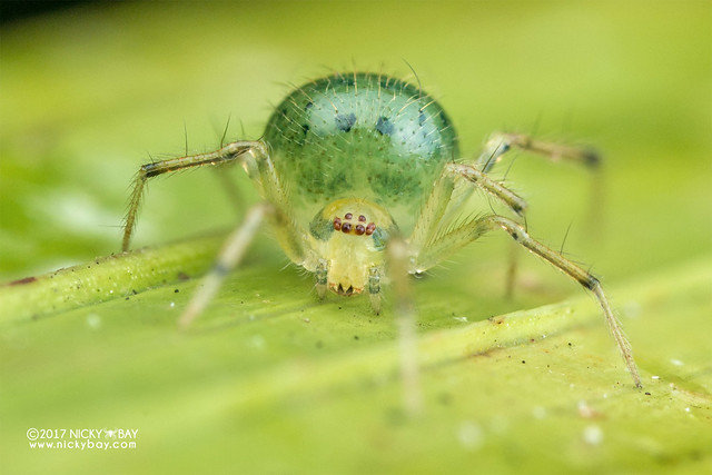Comb-footed spider (Theridiidae) - DSC_8079