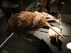 The only kiwi we saw on this trip, unfortunately. We'll try harder next time. #newzeland #travel #birds #animals #musuemn @otagomuseum