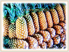 Recently harvested fruits of Ananas comosus (Pineapple, Nenas in Malay), 14 Sept 2017